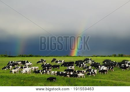 a herd of cows peretse on a green summer meadow on sky background with rainbow