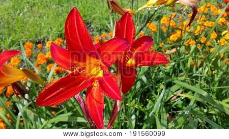 Close-up of beautiful bright lilies on a sunny day