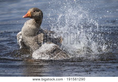 Greylag Goose Preening Itself On A Scottish Loch