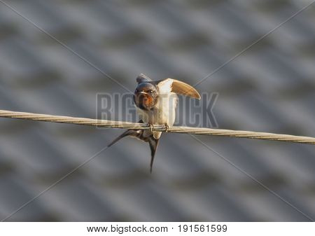 shot of angry swallow on the wire
