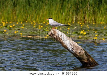 Photo of cute common tern sitting on a branch