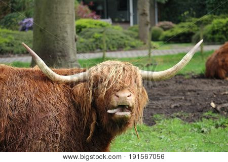 Scottish Highlander at local meadow in Baarn, the Netherlands