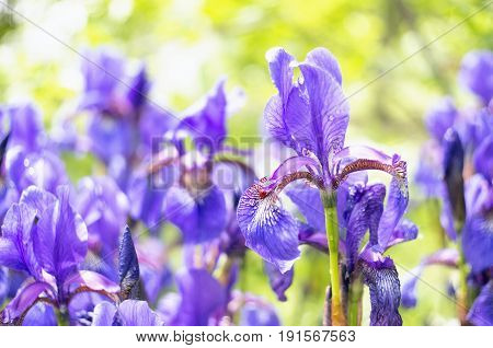 Lots of beautiful Siberian iris flowers in a garden. The alternative name of Siberian Iris is Siberian flag. Selective focus.