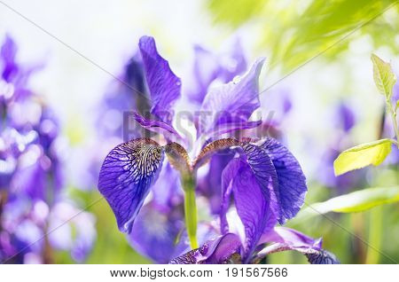 A photo of a beautiful Siberian iris flower in a garden. The alternative name of Siberian Iris is Siberian flag. Selective focus.