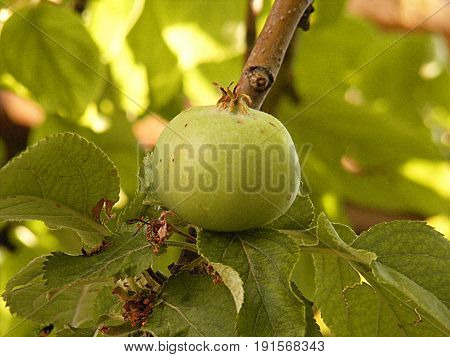 Unripe green apple, raw apricot, very sour raw apple pictures, a handful of apricots, apple tree green raw apple fruit