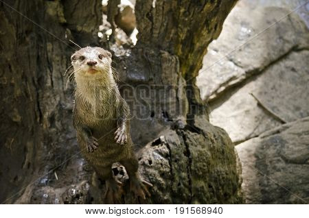 this is a small Asian otter standing on his hind legs