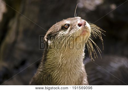 this is a close up of a small Asian otter