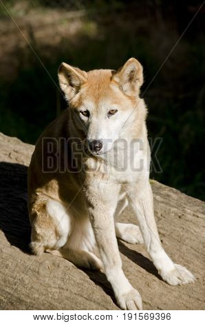 The golden dingo is sitting on a log