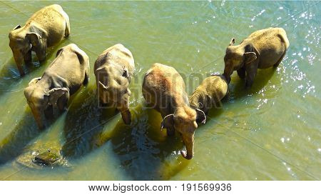 images from the pinawala elephant orphanage in sri lanka
