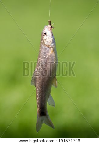 Fish caught on the hook in nature