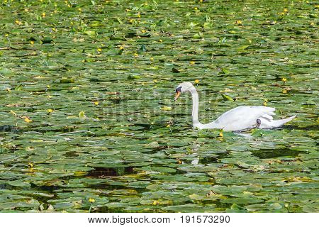 Beautiful white swan floating on the river