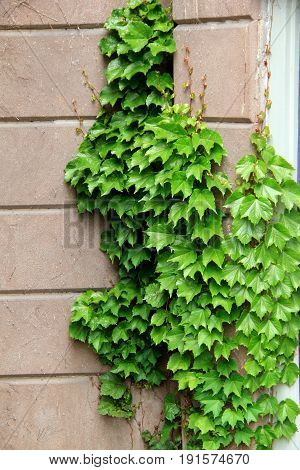 Vertical image of old, weathered building with lush green ivy growing up and over the face of it.