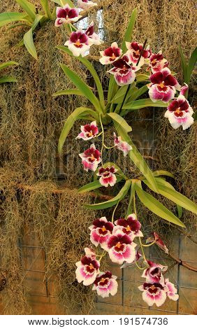 Vertical image of gorgeous exotic orchids that trail across a  mossy background in tropical,landscaped garden.