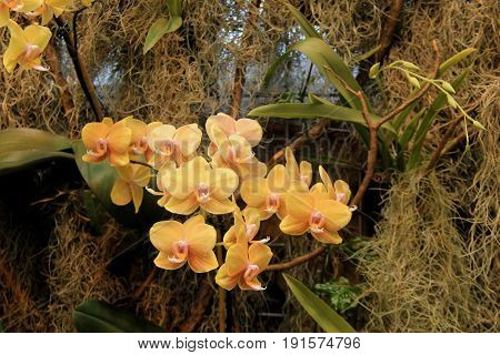 Beautiful image of exotic orchids growing from mossy surface of wall in landscaped tropical garden.