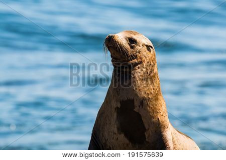 California sea lion with a blue ocean background at La Jolla Cove in San Diego County in the state of California.