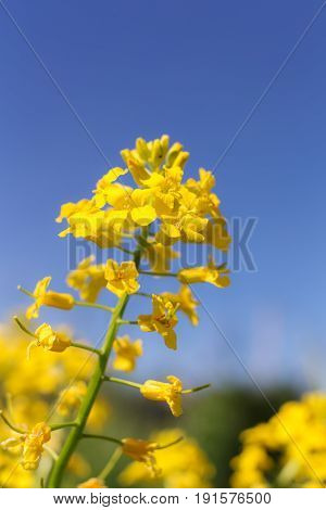 Mustard flowers closeup on a sunny day