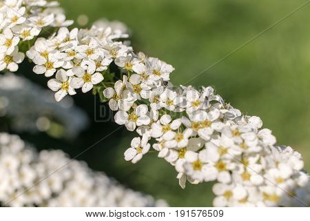 Flowering spirea branch in the foreground closeup