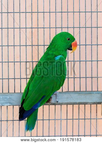 Male of the large green parrot - Eclectus roratus - is sitting on a crossbar near the grid at the Gan Guru Zoo in Kibbutz Nir David in Israel