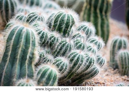 Cluster of cactus desert plant in a garden