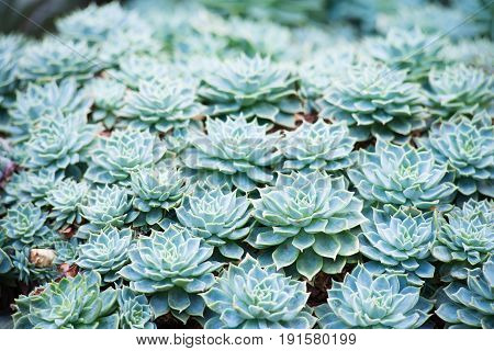 Cluster of succulent plant flowers  in a garden