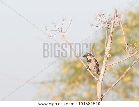 House sparrow bird Passer domesticus resting on tree branch.