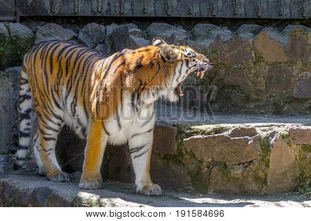 Image of an animal a young tiger yawning in the zoo