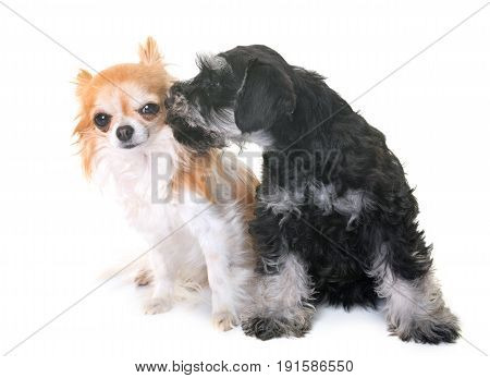 puppy miniature schnauzer and chihuahua in front of white background