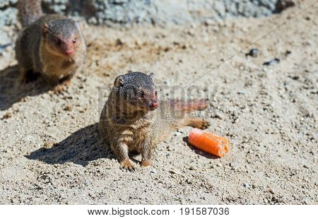 Portrait of a mongoose in a German zoo