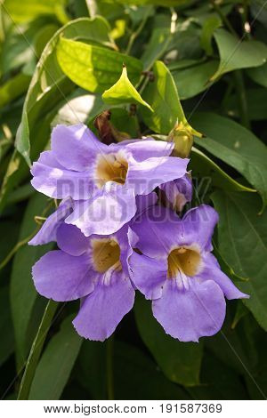 close up Thunbergia laurifolia flower in nature garden