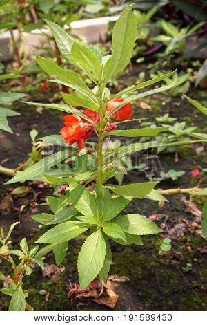 red Impatiens balsamina flower in nature garden