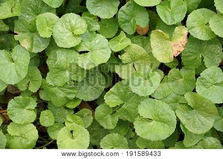 fresh green Centella asiatica leaves in nature garden