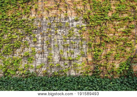 Horizontal image of old, weathered stone and brick wall with ivy vines trailing across the front of it and lush, healthy ground cover just below.