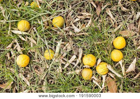 Fruits of bergamot tree on green grass ground.