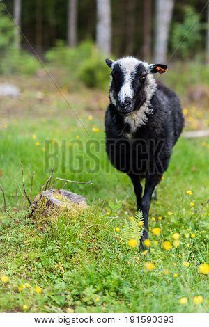 A black and white cheep at a small farm