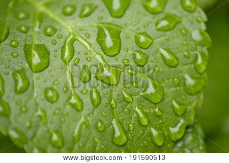 Detail of Water drops on green leaf