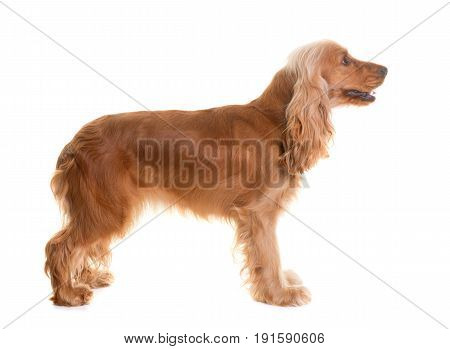 cocker spaniel in front of white background