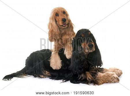 two cocker spaniel in front of white background