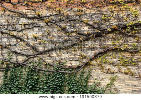Horizontal image of old, weathered stone and brick wall covered with vines and ivy that creeps across the face of it.