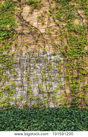 Vertical image of stone and brick background with healthy green  ivy creeping across the front of it.