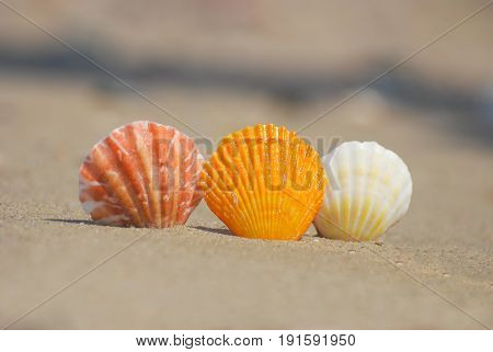 Seashells on the sand at the beach, concept of summer vacation. Three seashells on sand on sunny beach
