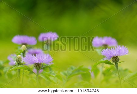 Cornflowers purple in the open space. Cornflowers in the field. Beautiful green background. Selective focus.