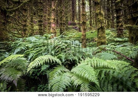 dark scary wet spruce tree forest and fern, green background