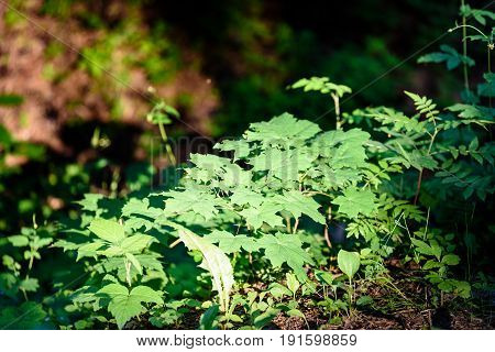 The Twigs Of Wild Plant Nettle Or Stinging Nettle Or Urtica Dioica In Summer