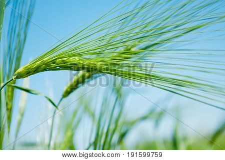 Green spike of rye on a blurred background of a field and a blue sky on a summer day outdoors