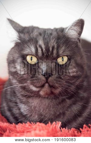 Cat resting cat on a sofa in blur background cute funny cat close up domestic cat relaxing cat cat resting cat playing at home elegant cat