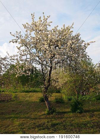 Photo of a blossoming spring apple tree