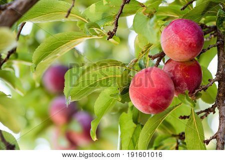 Juicy And Fleshy Plums Hanging In The Tree Ready For Harvest
