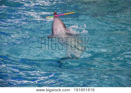 Dolphin in water dolphinarium with hula hoop