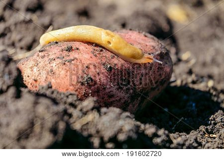 Brown garden pest slug crawling on a tuber of young potatoes