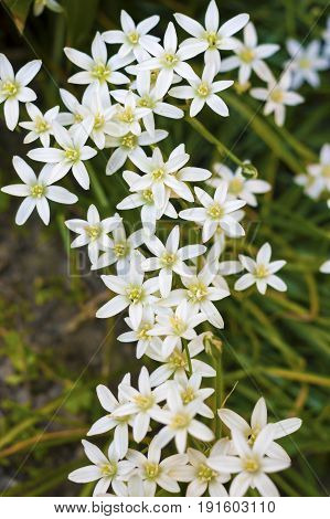 The Ornithogalum flowers closeup (Star of Bethlehem)